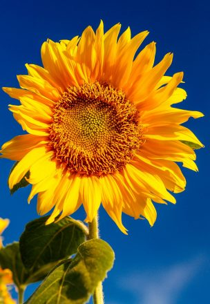 To grow well, sunflowers need full sun.